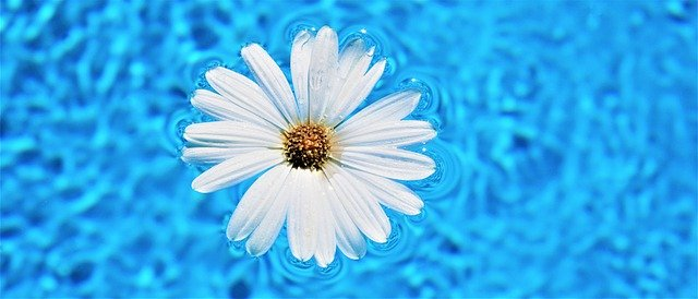 sedmikráska květ